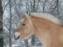Fjordski poni
