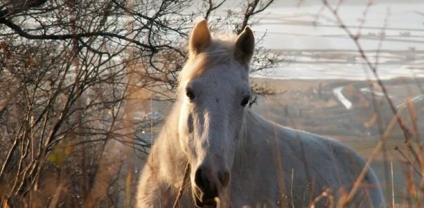 Suh konj
