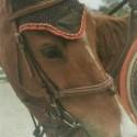 Angleški polnokrvni konj