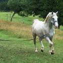 Žrebec Lipicanec