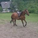konj - kastrat